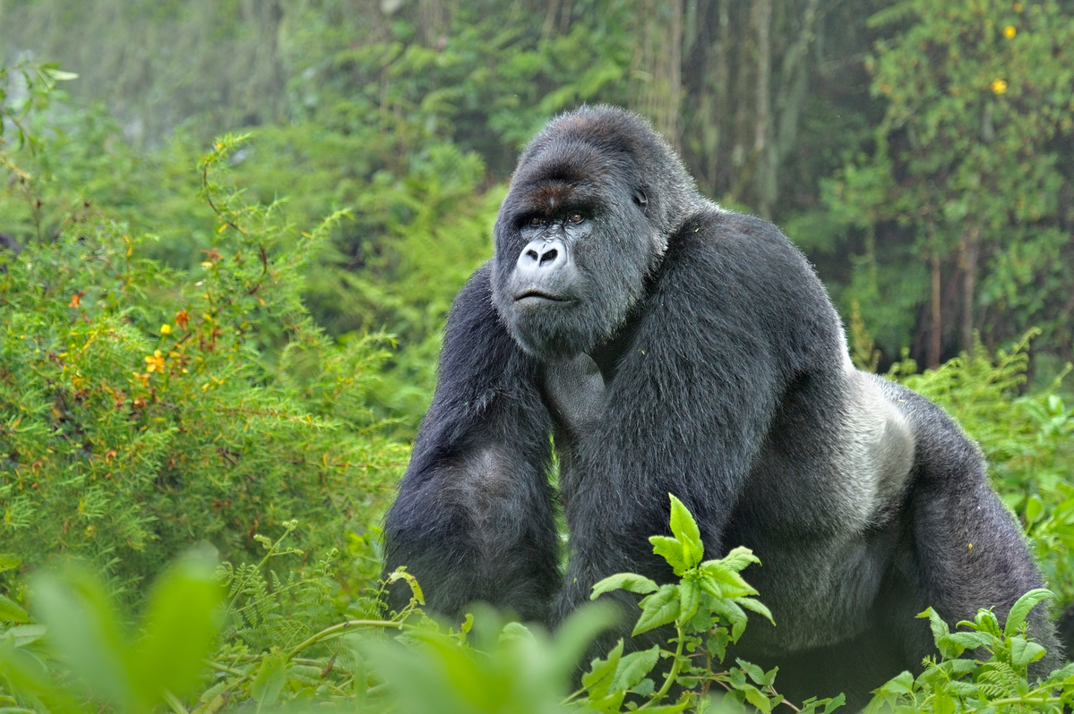 The Human Side of Mountain Gorillas